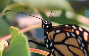 Monarch style