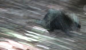 running porcupine